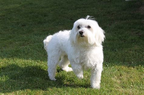 Best Family Dogs Dont Shed by 5 Small Hypoallergenic Dogs That Don T Shed Dogvills