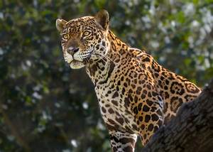 L.A. Zoo Blog – Los Angeles Zoo, Paso Pacifico Team Up for ...  Jaguar