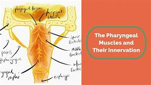 The Pharyngeal Muscles And Their Innervation