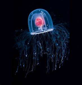"Turritopsis Dohrnii ""The Immortal Jellyfish"" | biologypop"