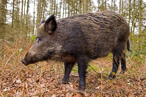 The Wild Pig Info Photos-images