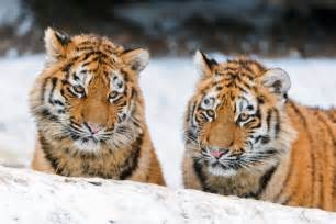 big cat species china is donating a bunch of its land to two endangered