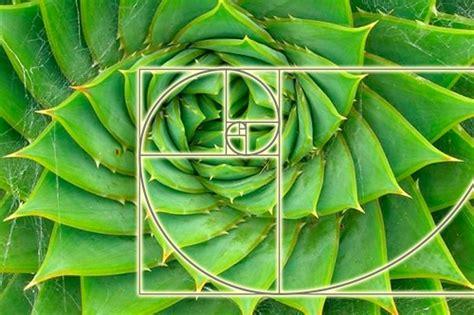 golden ratio plants the mechanism of wands of ra action