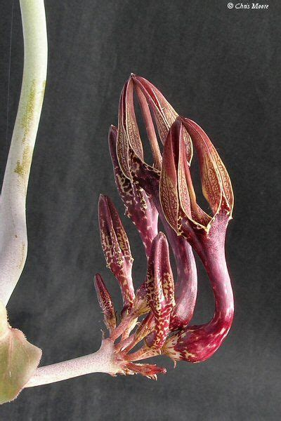 milkweed plants for 197 best images about plants stapeliads relatives 7504