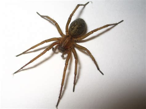 house spider oregon spiders at spiderzrule the best site in the world about