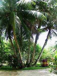 54 best images about Plants of Jamaica - Palms on ...