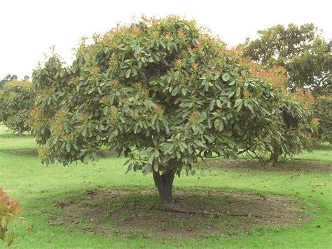 caring for trees avocado tree care the tree center