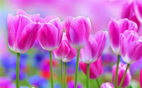 Tulips  Flowers  Garden  Landscape  Love Nature