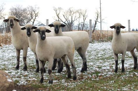 oxford sheep beautiful sheep sheep breeds sheep