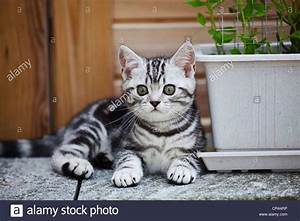 Little silver tabby British Shorthair kitten in the garden ...