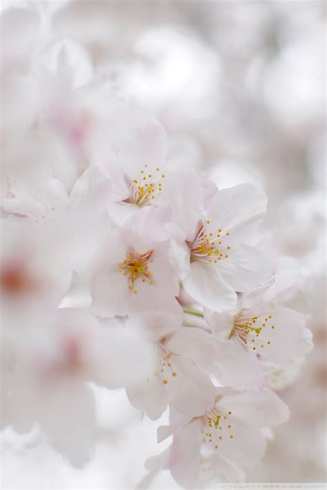white cherry blossom macro  hd desktop wallpaper
