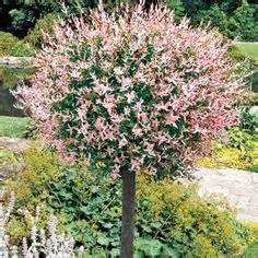 1000 images about garden ornamental trees on small ornamental trees shade trees