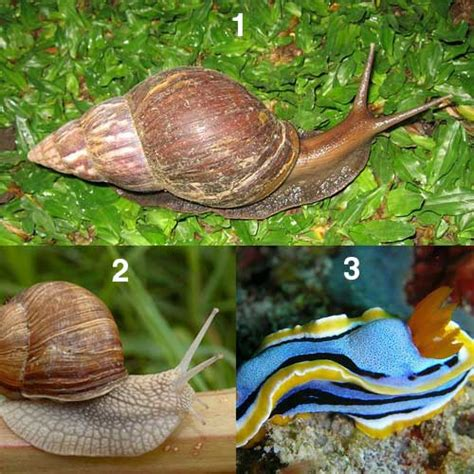 karakteristik  klasifikasi kelas gastropoda tentorku