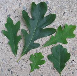 Different Oak Tree Leaves