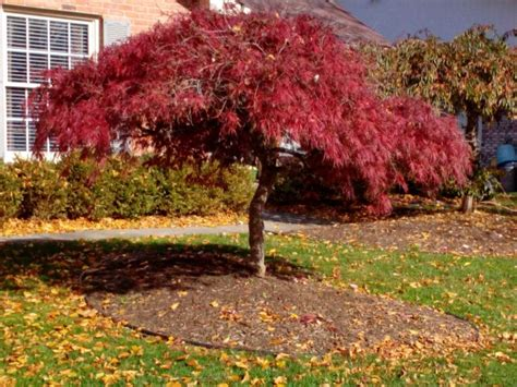 where to plant a japanese maple tree how to prune a japanese maple tree