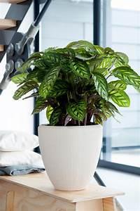 Zimmerpflanze Große Blätter : calathea ist die zimmerpflanze des monats september ~ Lizthompson.info Haus und Dekorationen