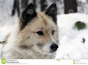 Siberian Hunting Dog Laika, Siberia Stock Photo - Image ...