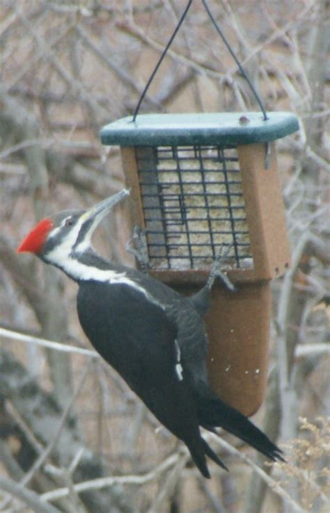 pileated woodpeckers at suet feeders feederwatch