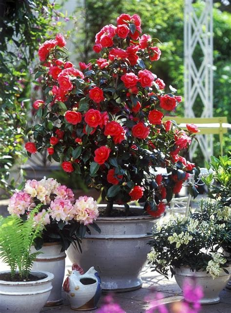 44 best shrubs for containers best container gardening plants balcony garden web