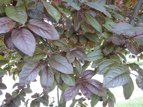 purple leaf trees identification albion trees 187 purpleleaf sand cherry