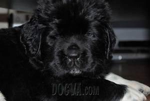 3816 newfoundland puppies