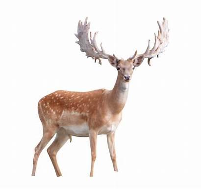 Deer Transparent Background Clipart Buck Elk Winter