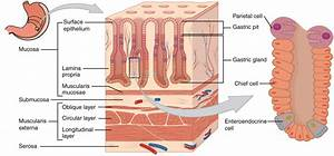 What Are The Names Of The Tissue Layers Of The Stomach