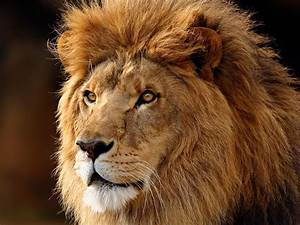World Lion Day 10th August – Steve Travis – President P.A.L.