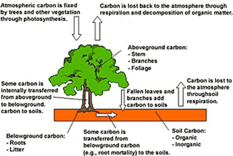 define carbon sink forest carbon sequestration forest carbon basics carbon