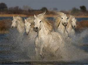 Camargue Horses running through shallow water in the ...