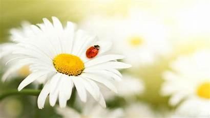 Daisy Flowers Ladybug Flower Spring Background Nature