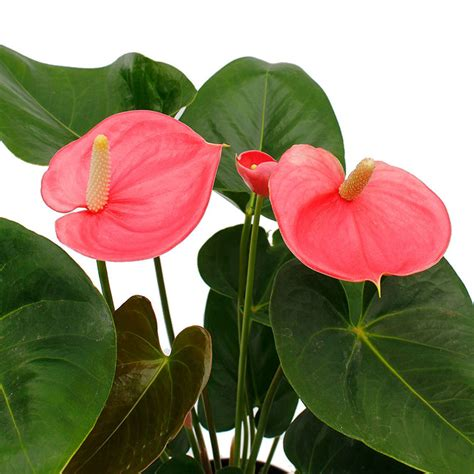 bloemen ziektes anthurium verzorging 123planten nl