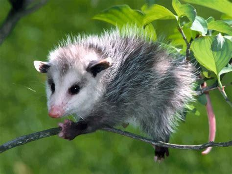opossum clipart opossum vector graphics
