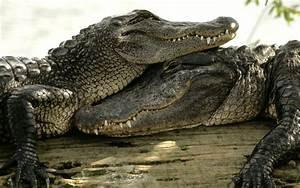 Crocodiles Amazing Love Wallpaper
