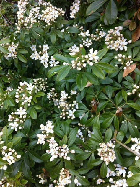 fragrant flowering bushes fragrant shrubs rainyleaf