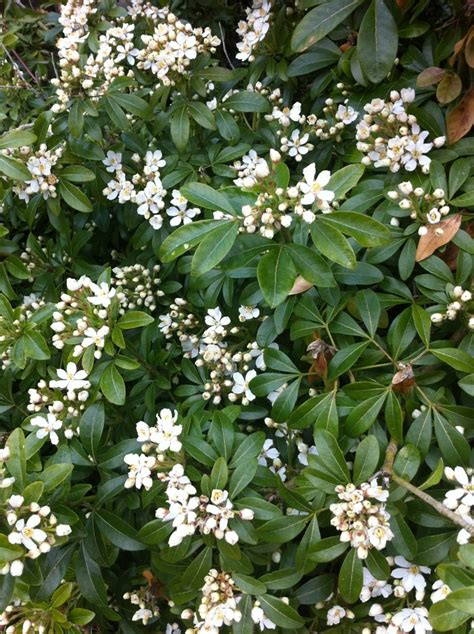 Spring Flowering Shrubs Rainyleaf