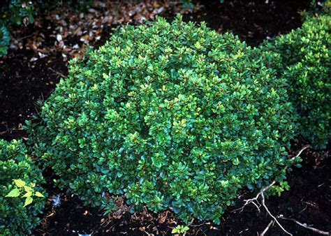 evergreen shrub beechwood landscape architecture and construction featured plant of the day japanese barberry