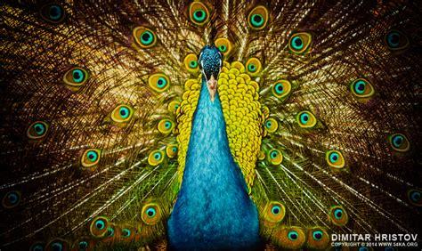 beautiful colorful peacock ka photo blog