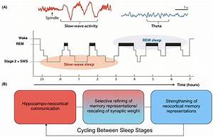 Schematic Of Sleep Architecture In Humans And Associated