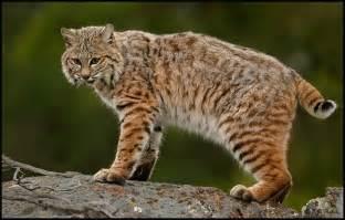 bob cat bobcat page