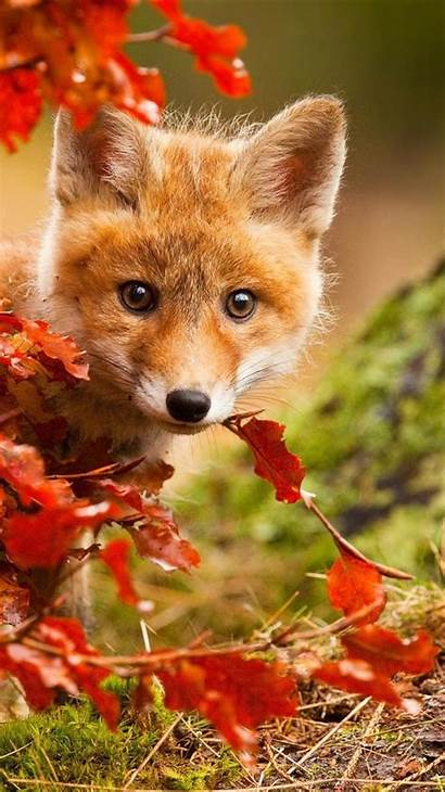 Fox Iphone Leaves Autumn Wallpapers Phone 6s