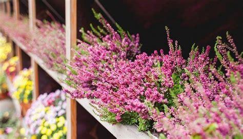 Noslēpumainās ērikas: izcili augi maziem dārziem | Plants ...