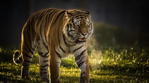 wallpaper tiger vladimir yorkshire wildlife park