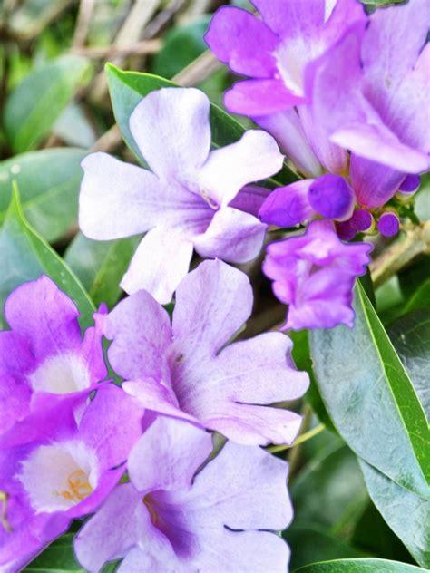 tanaman memanjat mudah tanam  cantik sebagai hiasan