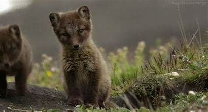 Fox Animal Gifs Babies Arctic Artic Adorable