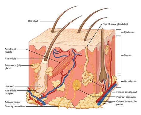 Hair Anatomy Diagram by Skin Diagram Images Search Layers Of The Skin