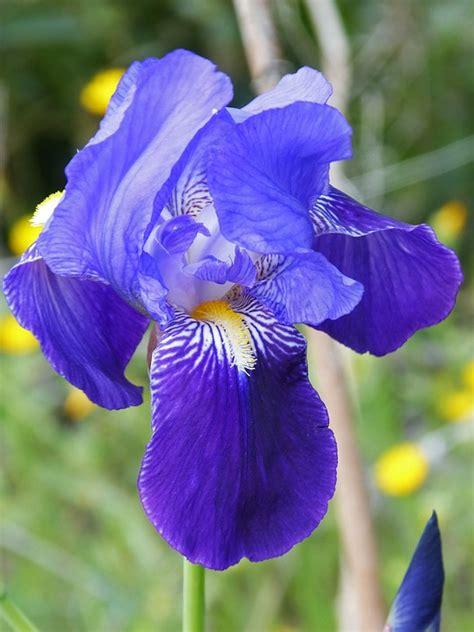 iris germanica bleublue pepiniere cramer