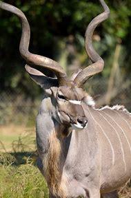 African Gazelle and Impala Animal