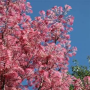 Buy Chinese mahogany Toona sinensis Flamingo: £34 99