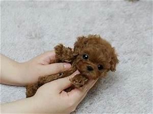Adorable Amazing Cutie ~ Precious Micro Teacup Poodle ...
